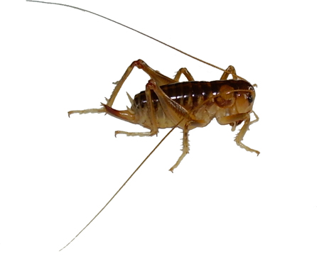 ground weta