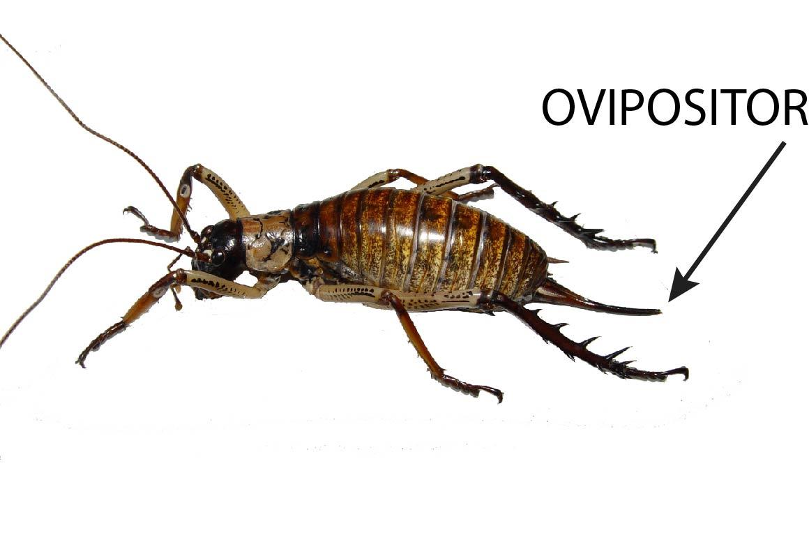 Ovipositor photos 37